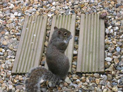Grey Squirrel in Brixton